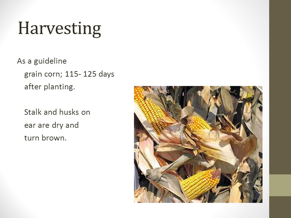 Harvesting As a guideline grain corn; 115- 125 days after planting.