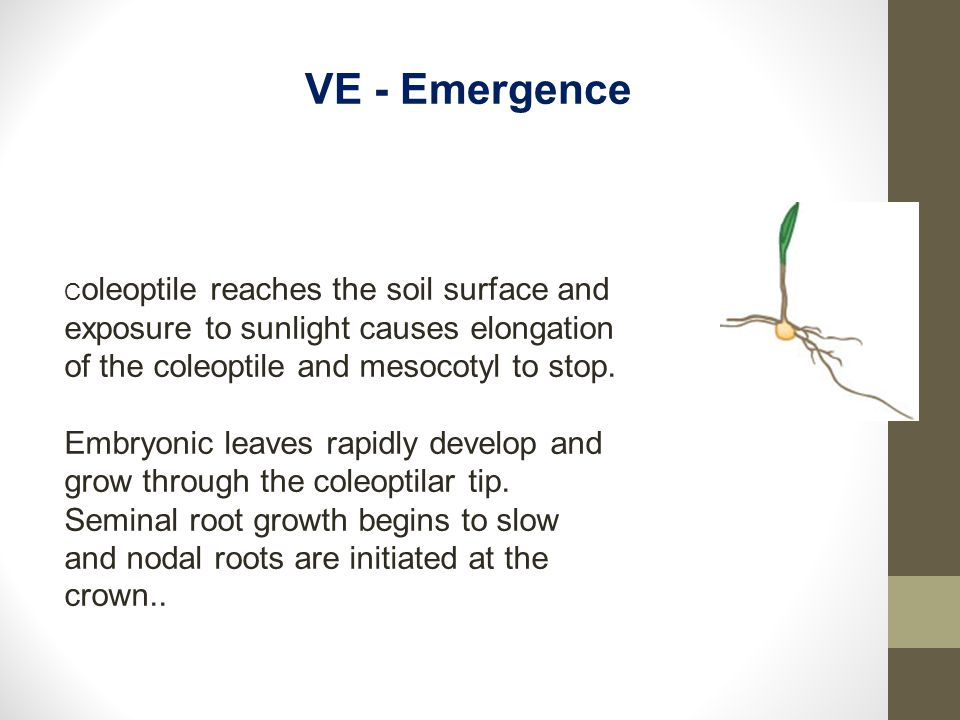 VE - Emergence Coleoptile reaches the soil surface and exposure to sunlight causes elongation of the coleoptile and mesocotyl to stop.
