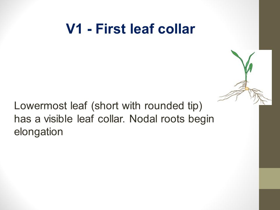 V1 - First leaf collar Lowermost leaf (short with rounded tip) has a visible leaf collar.