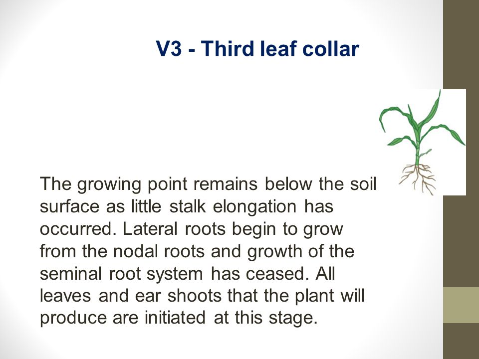 V3 - Third leaf collar