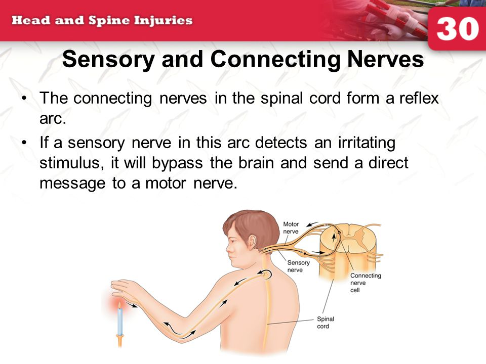 Sensory and Connecting Nerves