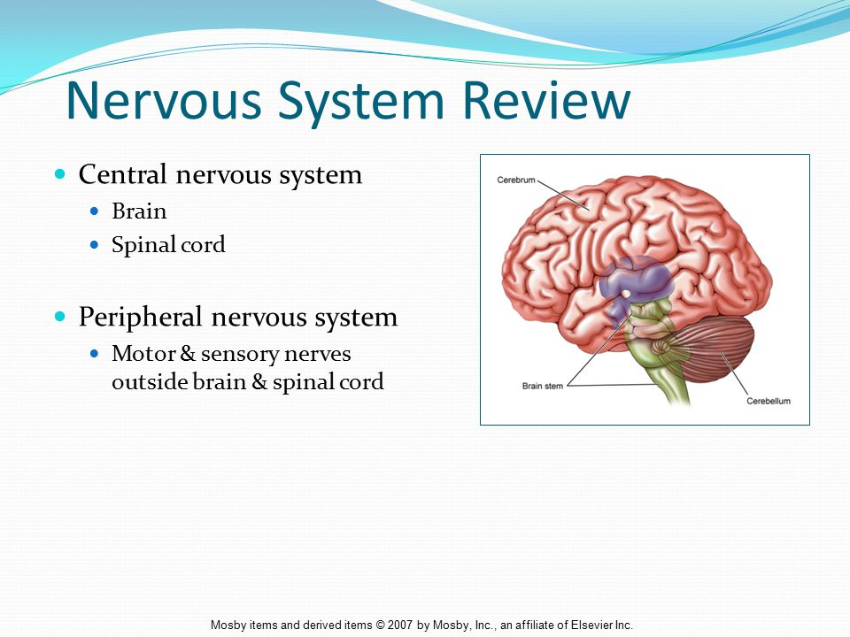 Nervous System Review Central nervous system Peripheral nervous system