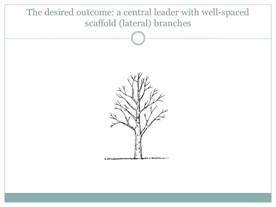 The desired outcome: a central leader with well-spaced scaffold (lateral) branches