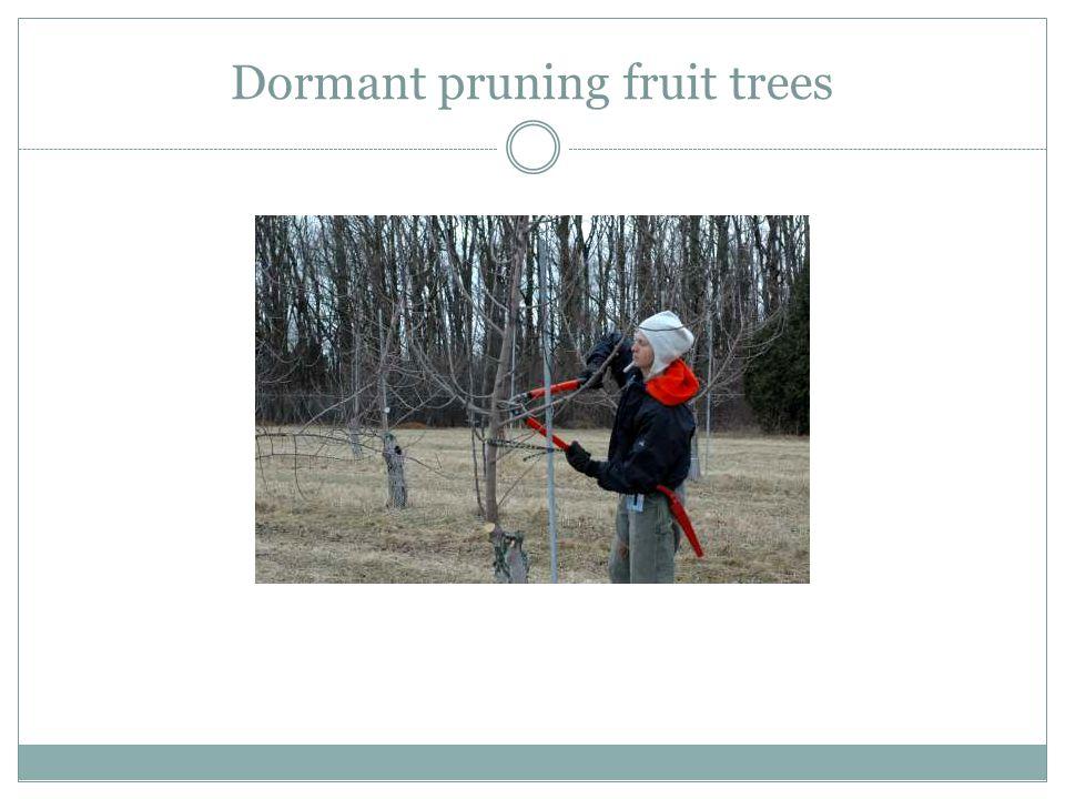 Dormant pruning fruit trees