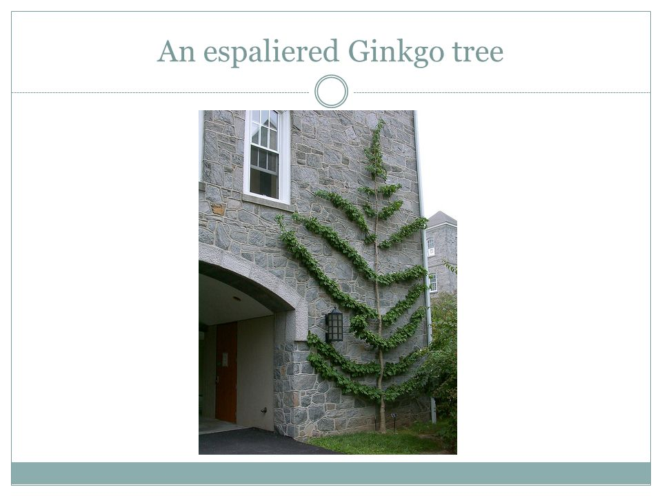 An espaliered Ginkgo tree