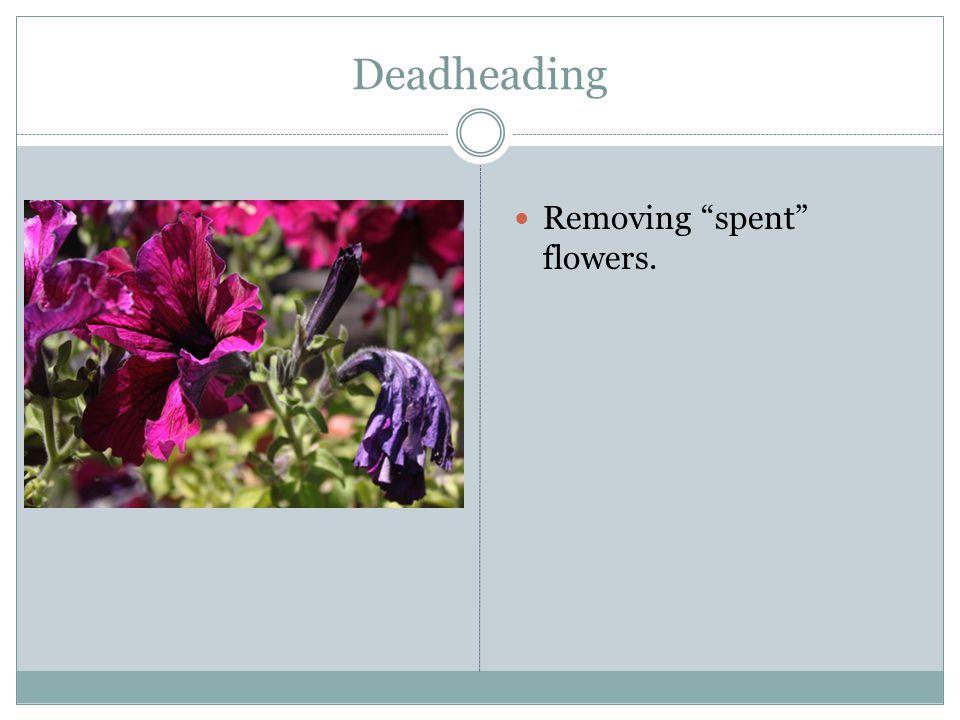 Deadheading Removing spent flowers.
