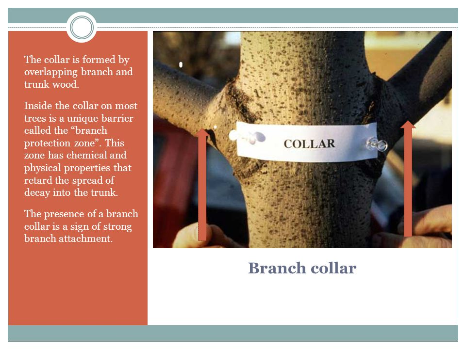 The collar is formed by overlapping branch and trunk wood.