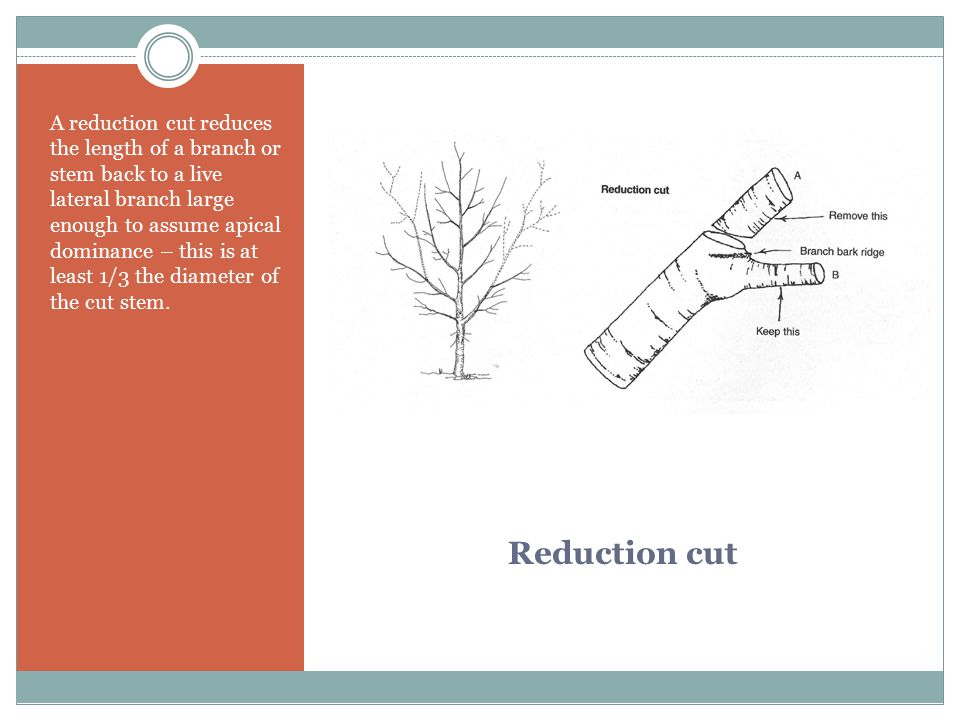 A reduction cut reduces the length of a branch or stem back to a live lateral branch large enough to assume apical dominance – this is at least 1/3 the diameter of the cut stem.