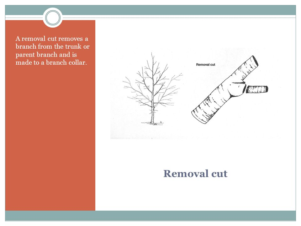 A removal cut removes a branch from the trunk or parent branch and is made to a branch collar.