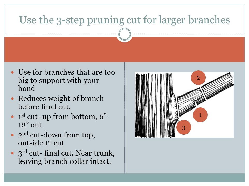 Use the 3-step pruning cut for larger branches