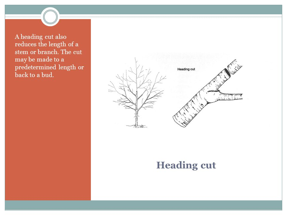 A heading cut also reduces the length of a stem or branch