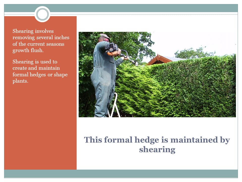 This formal hedge is maintained by shearing
