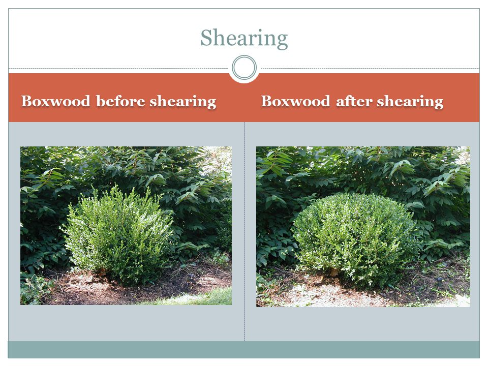 Shearing Boxwood before shearing Boxwood after shearing