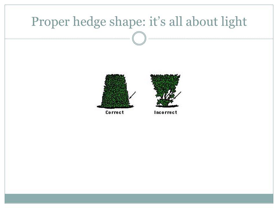 Proper hedge shape: it's all about light