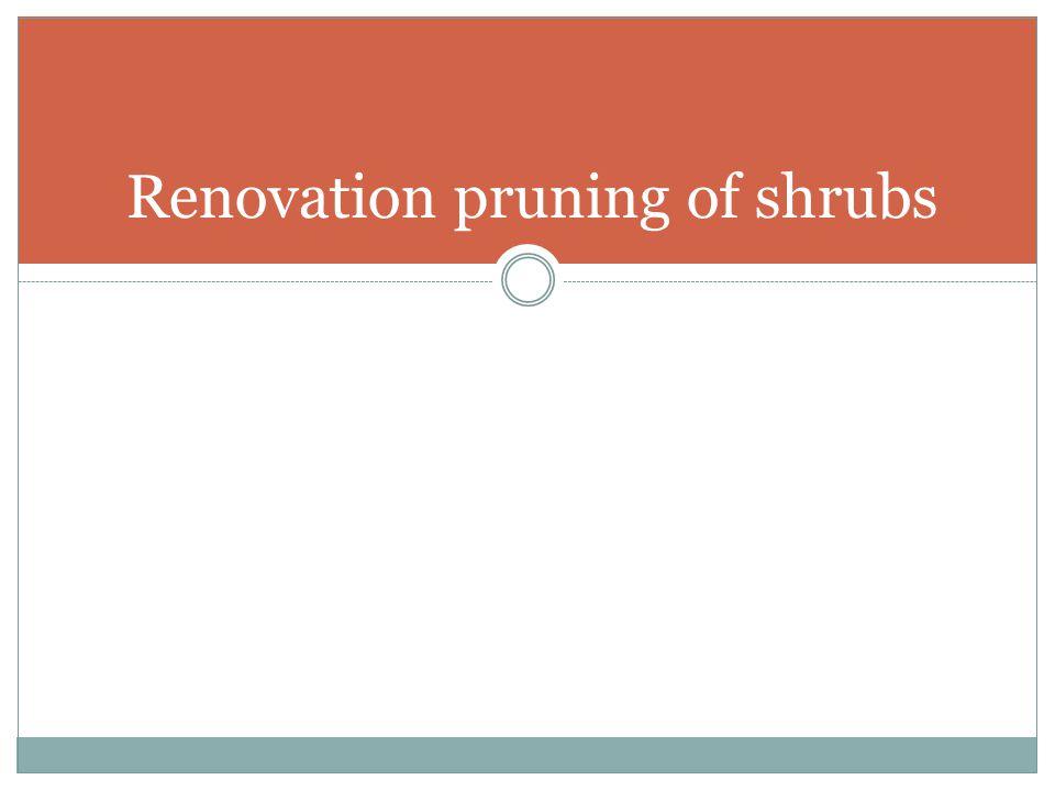Renovation pruning of shrubs