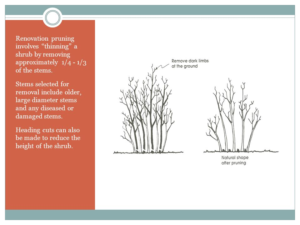 Renovation pruning involves thinning a shrub by removing approximately 1/4 - 1/3 of the stems.