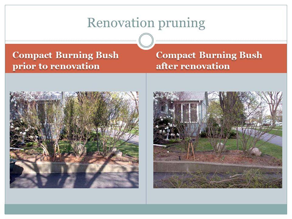 Renovation pruning Compact Burning Bush prior to renovation