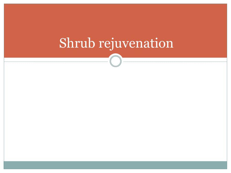 Shrub rejuvenation