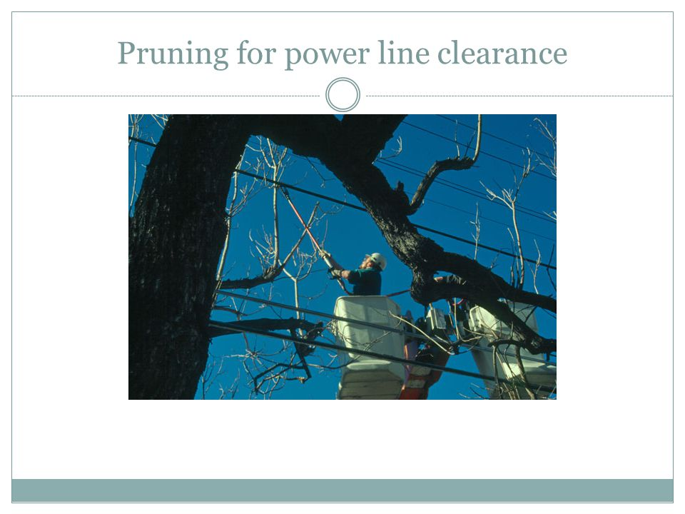 Pruning for power line clearance