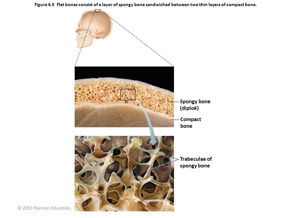 Spongy bone (diploë) Compact bone Trabeculae of spongy bone