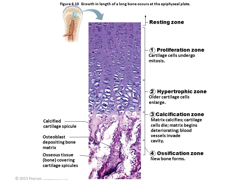 Cartilage cells undergo mitosis.