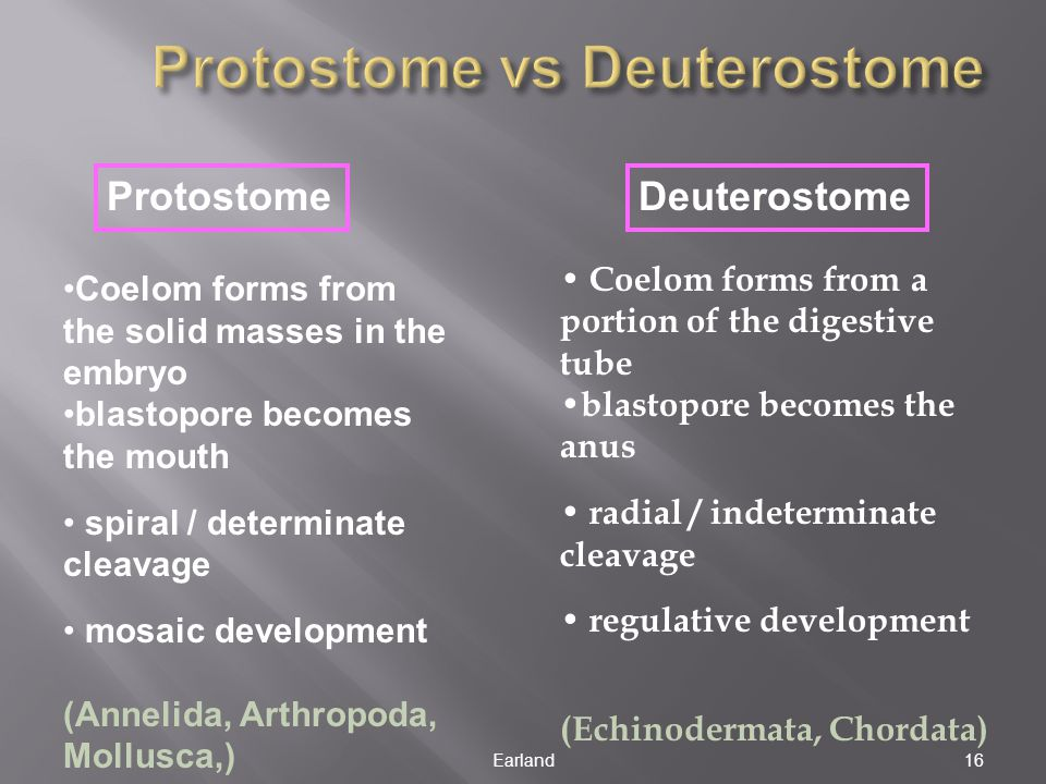 Protostome vs Deuterostome