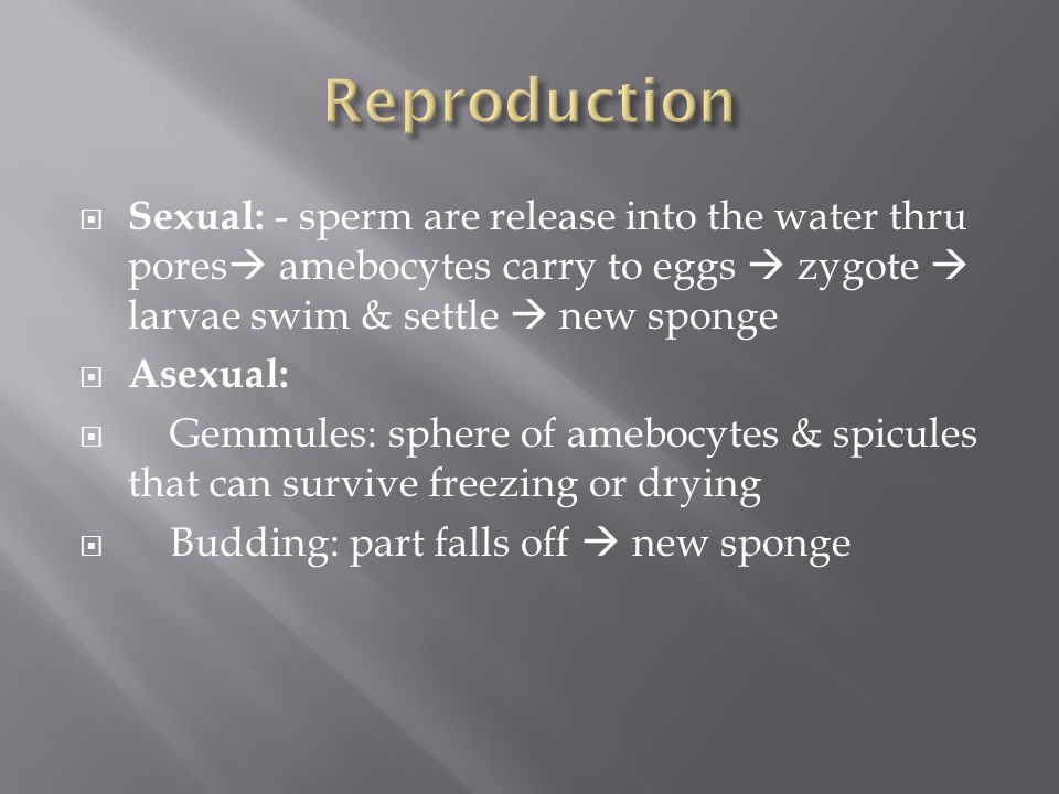 Reproduction Sexual: - sperm are release into the water thru pores amebocytes carry to eggs  zygote  larvae swim & settle  new sponge.
