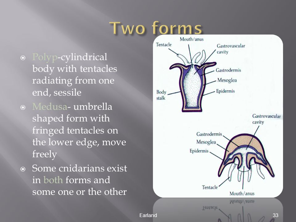 Two forms Polyp-cylindrical body with tentacles radiating from one end, sessile.