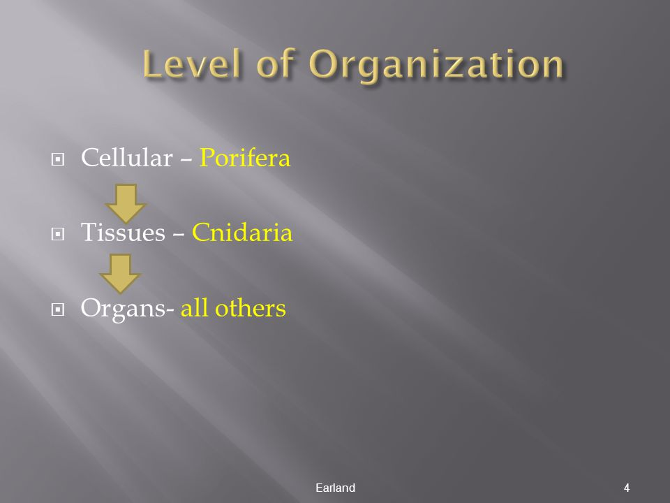 Level of Organization Cellular – Porifera Tissues – Cnidaria