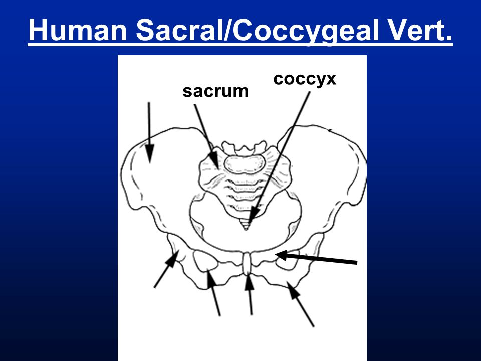 Human Sacral/Coccygeal Vert.