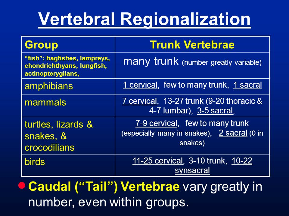 Vertebral Regionalization