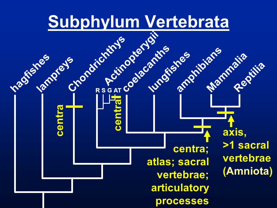 Subphylum Vertebrata Actinopterygii Chondrichthys coelacanths