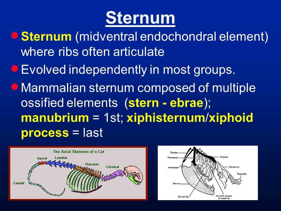 Sternum Sternum (midventral endochondral element) where ribs often articulate. Evolved independently in most groups.
