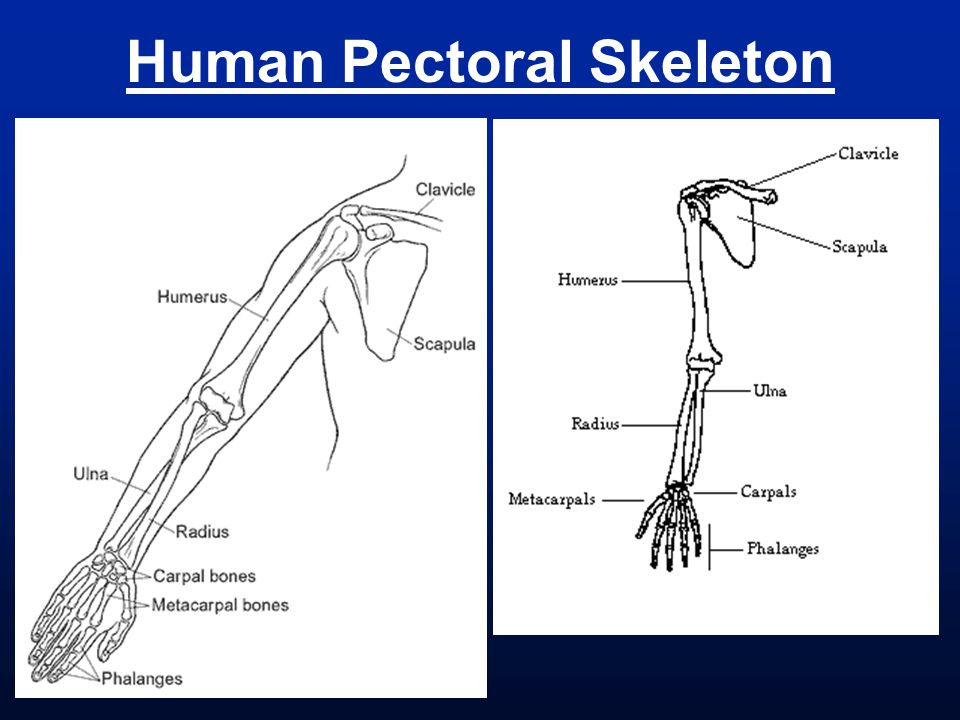 Human Pectoral Skeleton