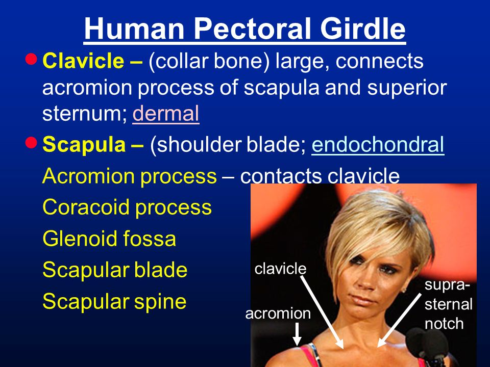 Human Pectoral Girdle Clavicle – (collar bone) large, connects acromion process of scapula and superior sternum; dermal.