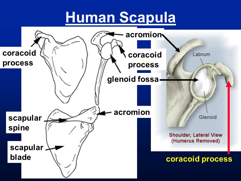 Human Scapula acromion coracoid coracoid process process glenoid fossa