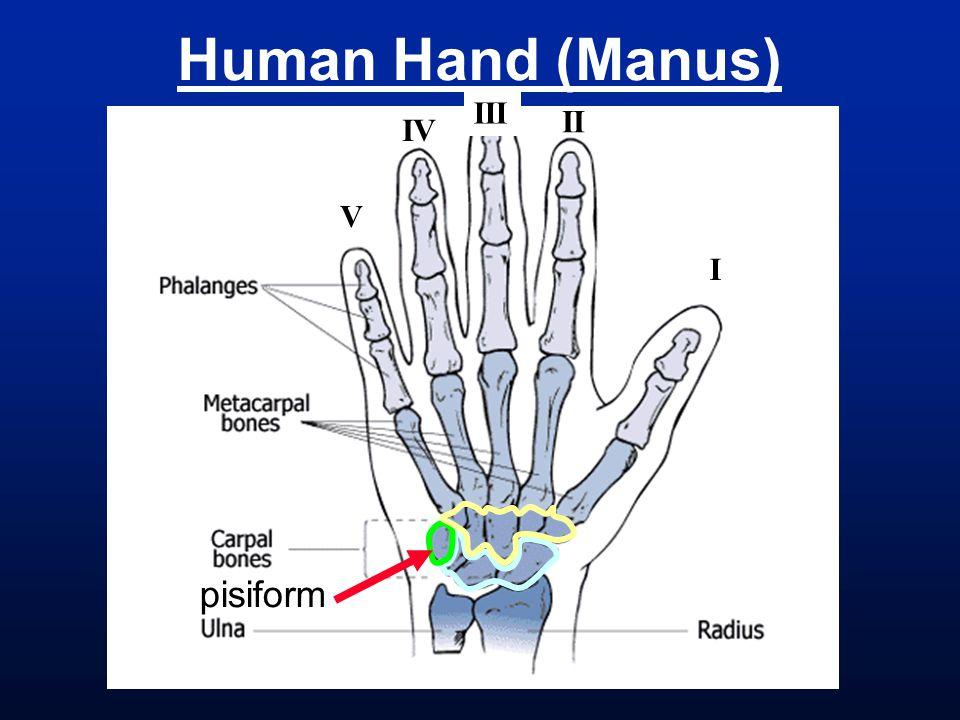 Human Hand (Manus) I III II IV V pisiform