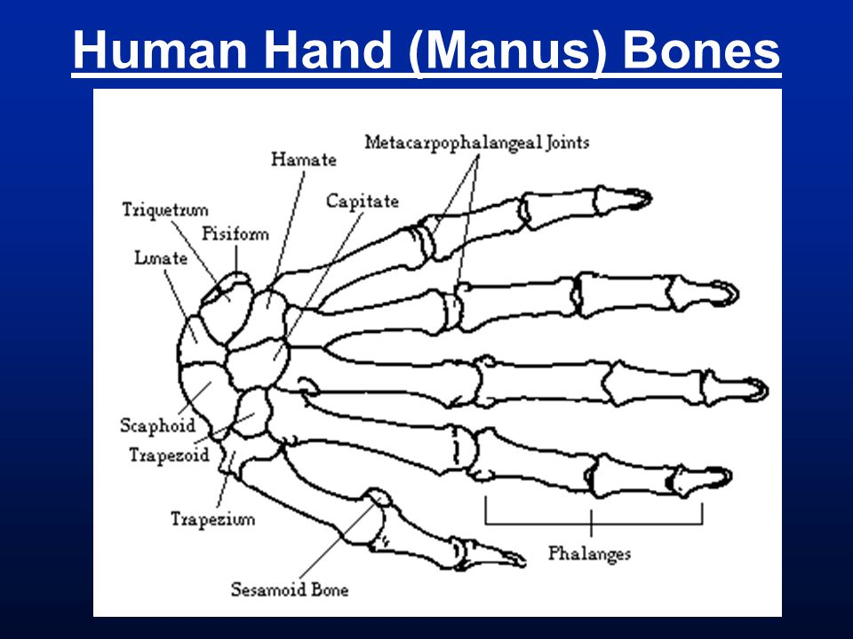 Human Hand (Manus) Bones