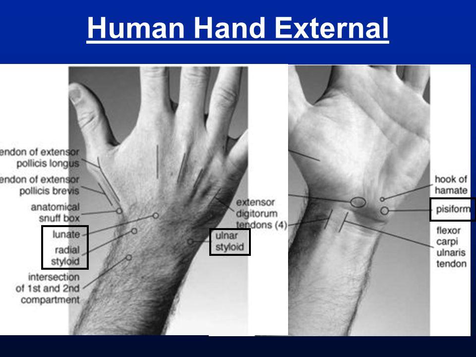 Human Hand External