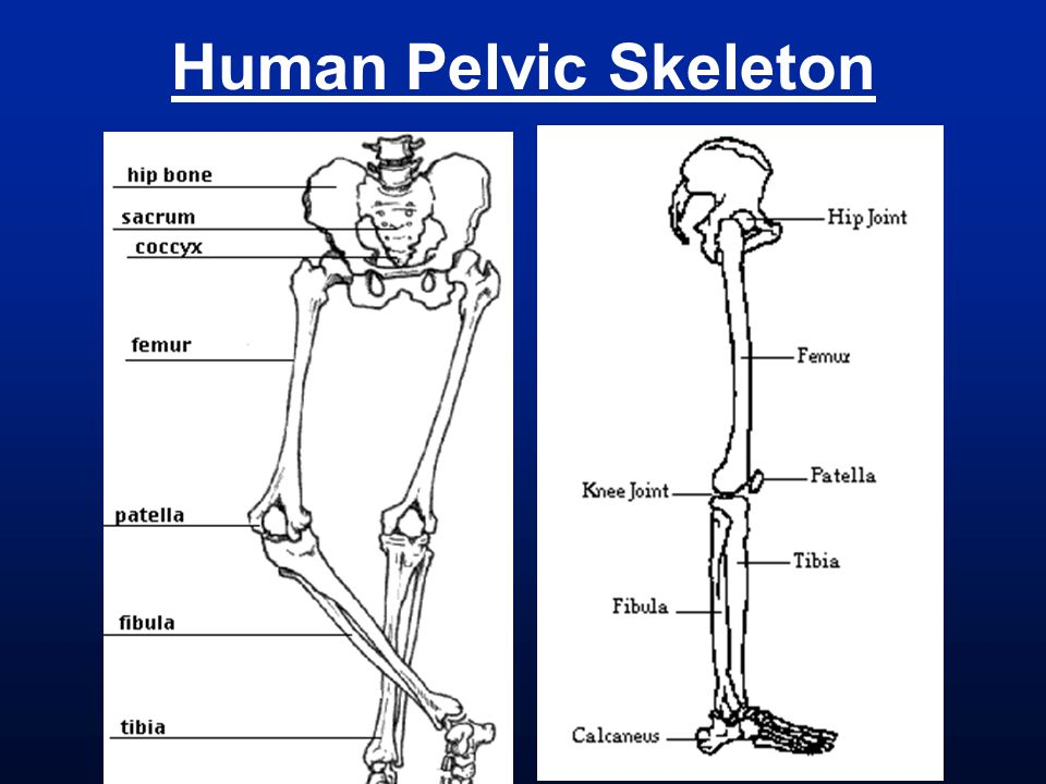Human Pelvic Skeleton