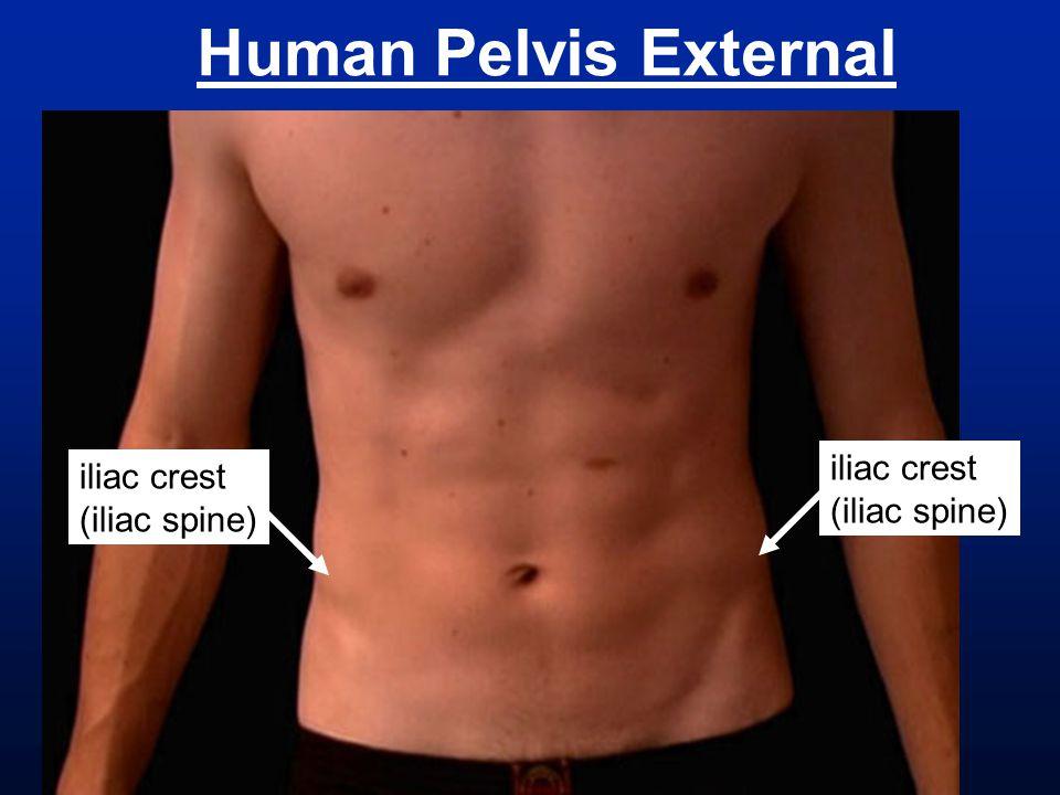 Human Pelvis External iliac crest iliac crest (iliac spine)
