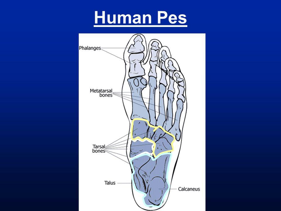 Human Pes