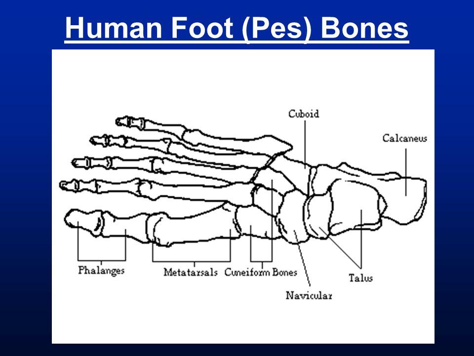 Human Foot (Pes) Bones