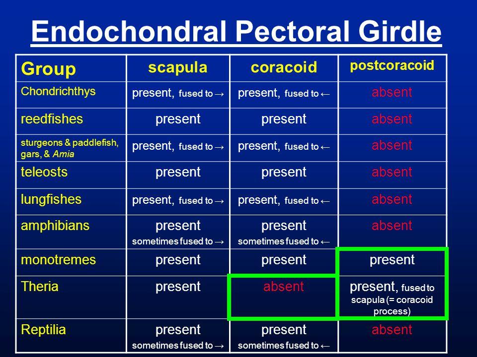 Endochondral Pectoral Girdle
