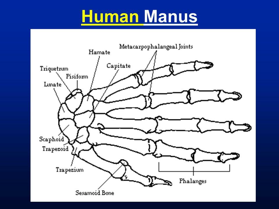 Human Manus