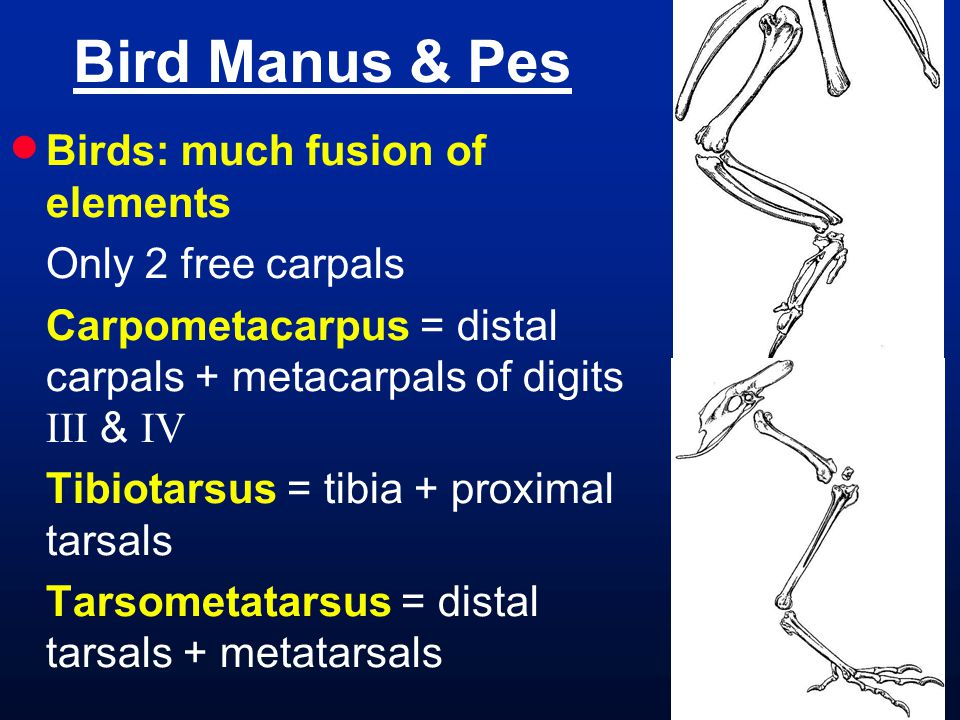 Bird Manus & Pes Birds: much fusion of elements Only 2 free carpals