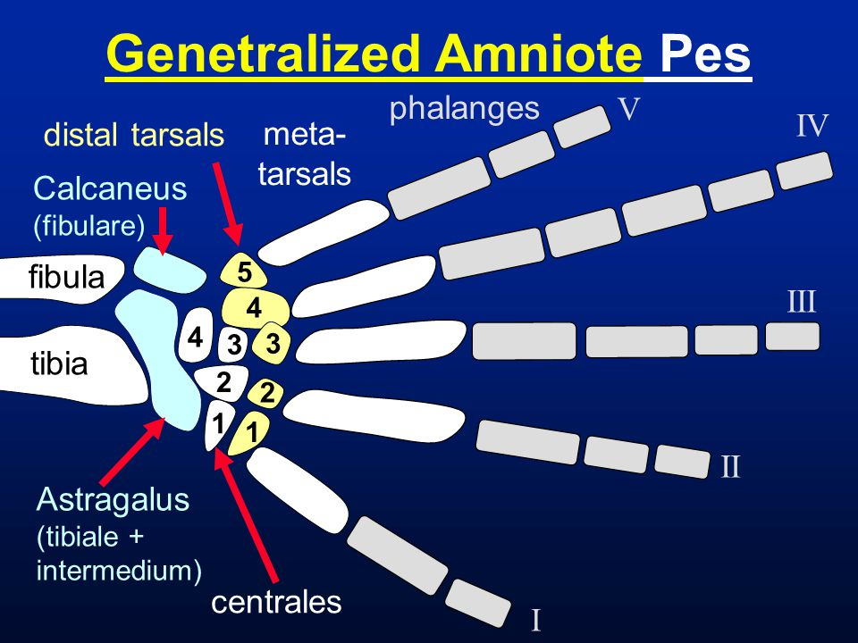 Genetralized Amniote Pes