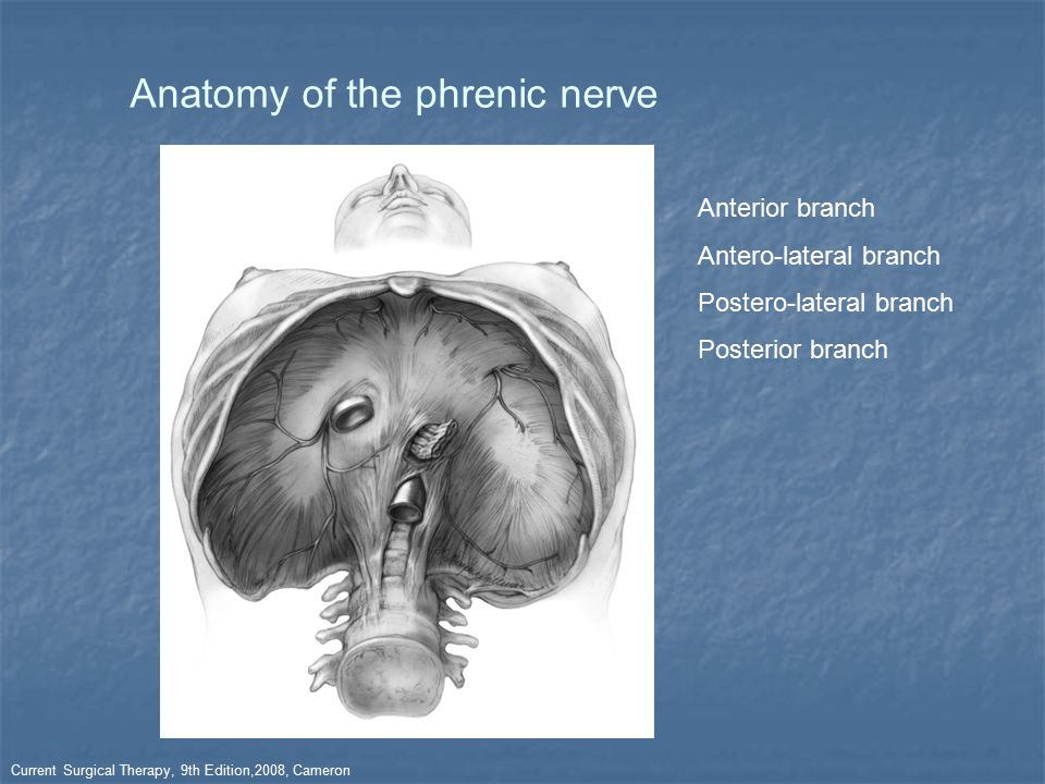 Anatomy of the phrenic nerve