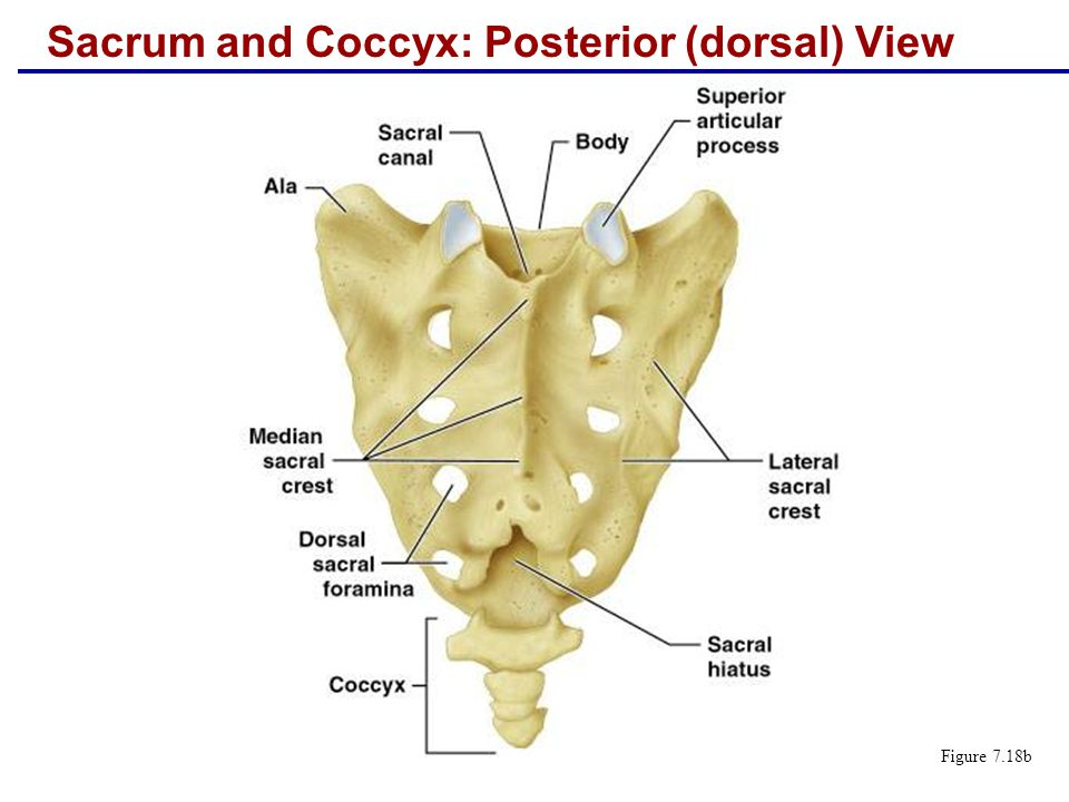 Sacrum and Coccyx: Posterior (dorsal) View
