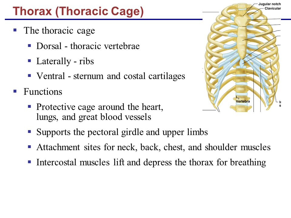 Thorax (Thoracic Cage)